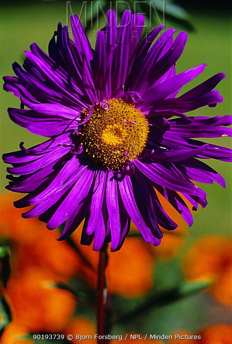 Callistephus chinensis flower, Sweden  -  Bjorn Forsberg/ npl