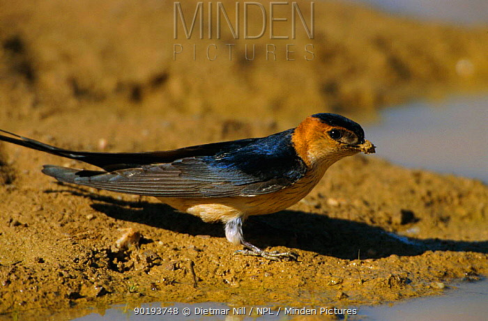 Red rumped swallow collecting mud for nest (Cecropis daurica) Spain  -  Dietmar Nill/ npl