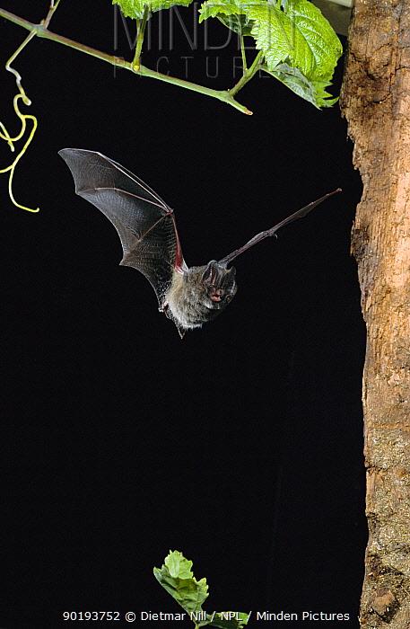 Western barbastelle bat flying (Barbastella barbastella) Germany  -  Dietmar Nill/ npl