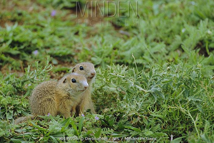 European susliks, Ground squirrel (Spermophilus citellus) Bulgaria  -  Dietmar Nill/ npl
