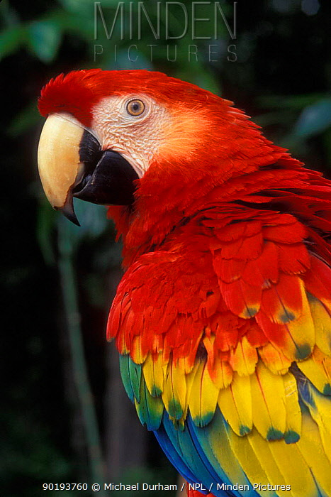 Scarlet Macaw portrait (Ara macao) occurs South Mexico to Brazil  -  Michael Durham/ npl