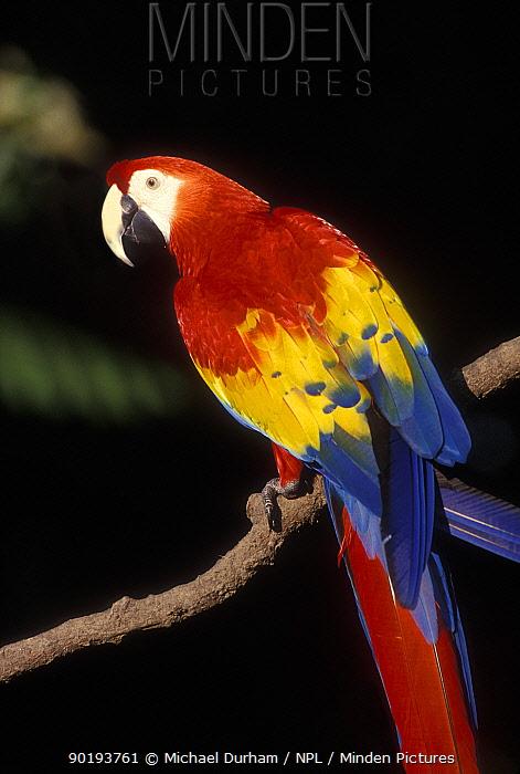 Scarlet Macaw portrait (Ara macao) occurs South Mexico to Amazonia (Brazil)  -  Michael Durham/ npl