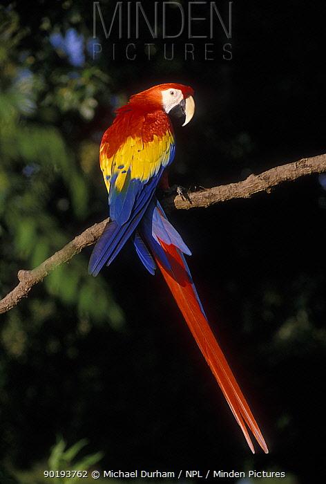 Scarlet Macaw portrait (Ara macao) occurs South Mexico to Amazonia, Brazil  -  Michael Durham/ npl