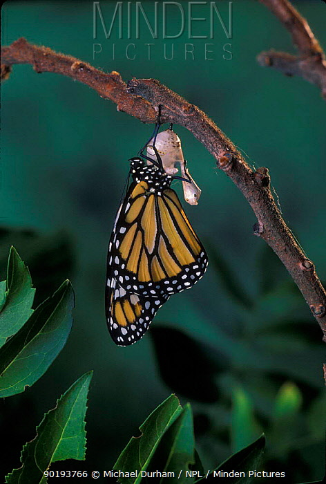 Monarch butterfly (Danaus plexippus) adult emerging from chrysalis casing Sequence 10 of 11  -  Michael Durham/ npl