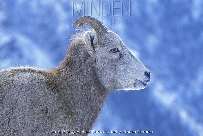 Juvenile Bighorn ram (Ovis canadensis canadensis) Wallowa Mountains, Oregon, USA  -  Michael Durham/ npl