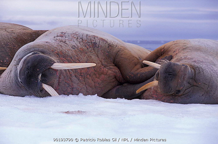 Three Walruses on ice (Odobenus rosmarus) Svalbard, Norway  -  Patricio Robles Gil/ npl