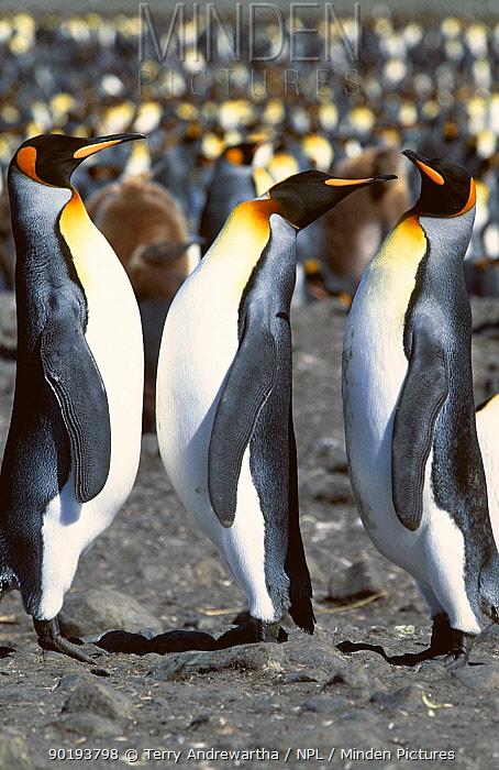King Penguins (Aptenodytes patagonicus) displaying, South Georgia 2006  -  Terry Andrewartha/ npl