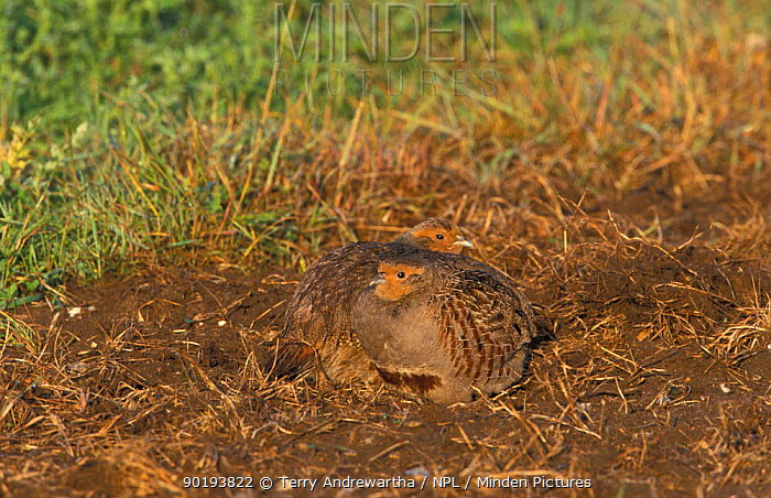 Grey partridge pair (Perdix perdix) Norfolk, UK  -  Terry Andrewartha/ npl