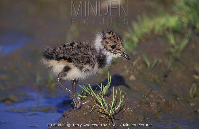 Lapwing chick (Vanellus vanellus) Norfolk, UK  -  Terry Andrewartha/ npl