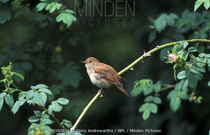 Nightingale (Luscinia megarhynchos) UK  -  Terry Andrewartha/ npl