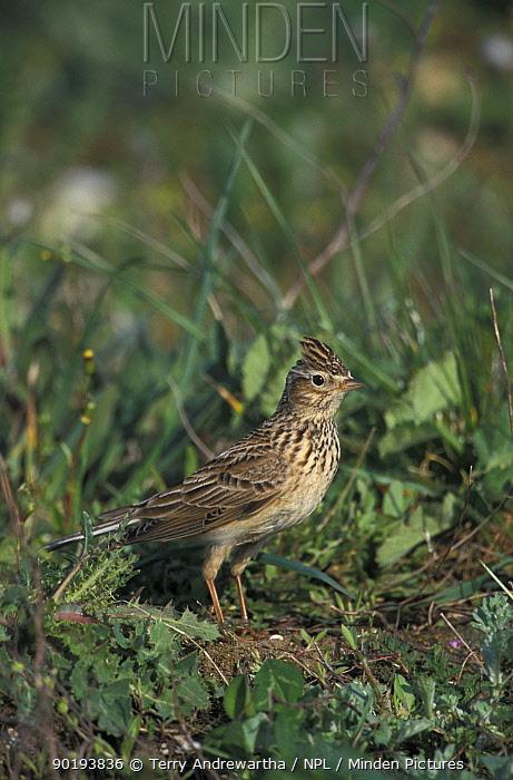 Skylark on set aside land (Alauda arvensis) Brecklands, Norfolk, UK  -  Terry Andrewartha/ npl