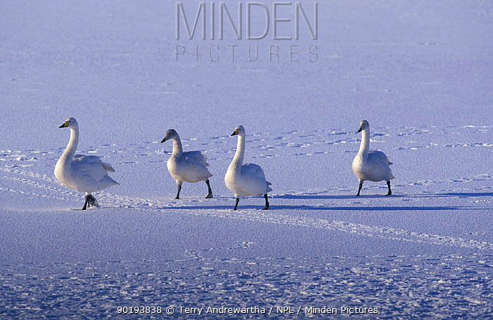Whooper swan pair and juveniles on snow (Cygnus cygnus) Welney, Norfolk, UK  -  Terry Andrewartha/ npl