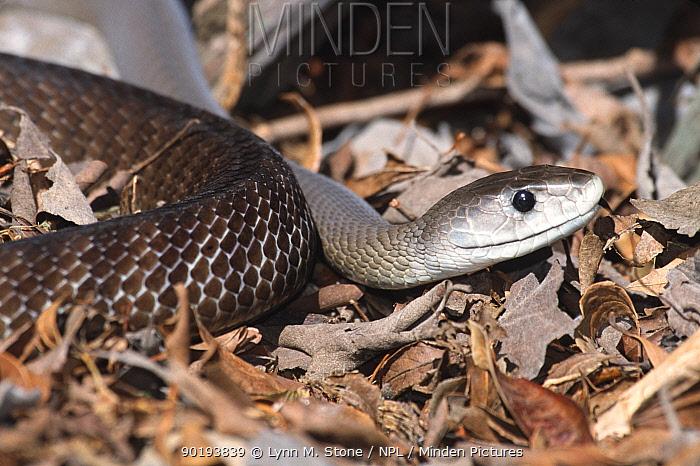 Black mamba (Dendroaspis polylepis) captive  -  Lynn M. Stone/ npl