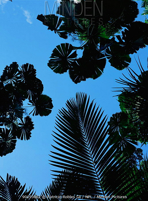 Silhouette of Fan palm tree leaves, Daintree NP Queensland, Australia  -  Patricio Robles Gil/ npl