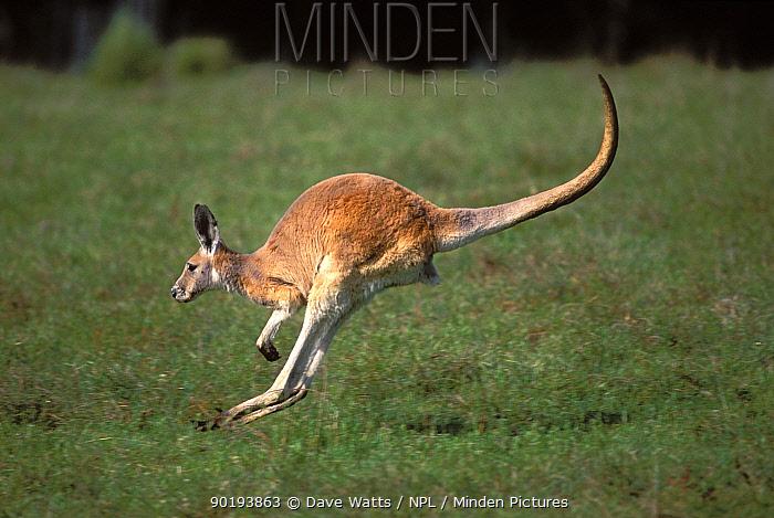Female Red kangaroo hopping (Macropus rufus) South Australia  -  Dave Watts/ npl