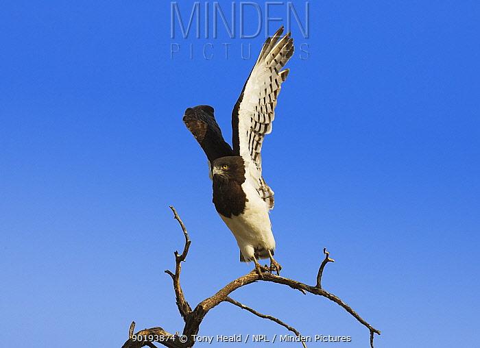 Short toed, Black breasted snake eagle taking off (Circaetus gallicus) Namibia  -  Tony Heald/ npl