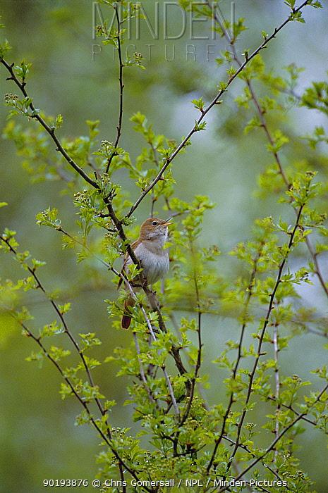 Nightingale singing (Luscinia megarhynchos) Cambridgeshire, UK  -  Chris Gomersall/ npl