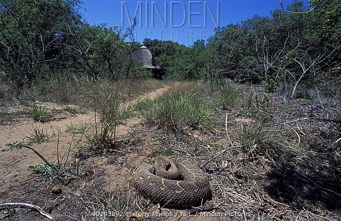 Puff adder sunning on path (Bitis arietans) Kwazulunatal, South Africa  -  Tony Phelps/ npl