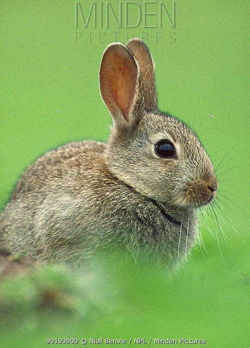 Young European rabbit portrait (Oryctolagus cuniculus) Scotland  -  Niall Benvie/ npl