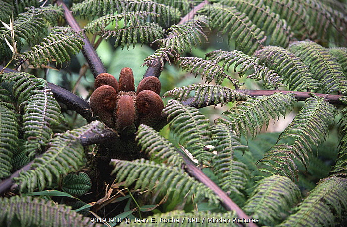 Tree fern with fronds yet to unravel (Cyathea imrayana) Martinique, Caribbean  -  Jean E. Roche/ npl