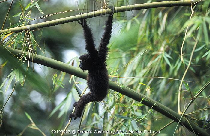 Juvenile White browed, hoolock gibbon hanging from branch Panbari FR Assam India  -  Bernard Castelein/ npl
