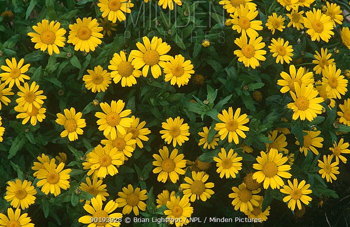 Corn marigold (Chrysanthemum segetum) Montrose, Scotland  -  Brian Lightfoot/ npl