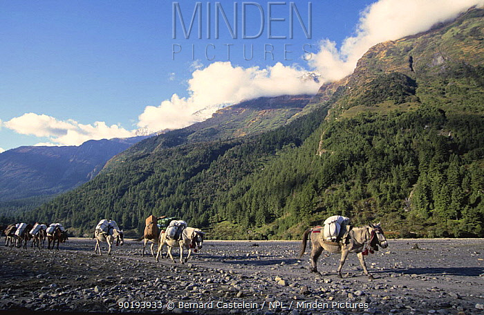 Mule caravan in Kali Gandanki riverbed north of Kalopani village, Lower Mustang, Nepal November 2004  -  Bernard Castelein/ npl