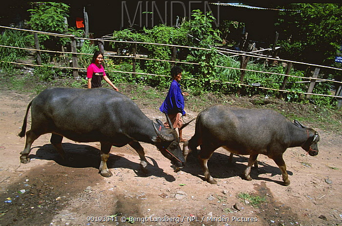 Women herding Buffalos along street, E-Sarn, Thailand  -  Bengt Lundberg/ npl