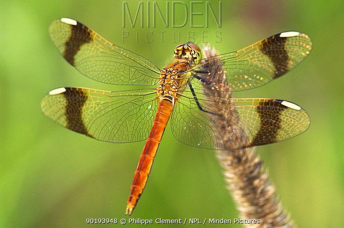 Banded darter (Sympetrum pedemontanum) Belgium  -  Philippe Clement/ npl