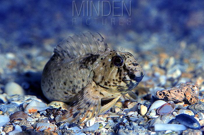 Rock pool blenny in dark breeding colour (Parablennius sanguinolentus) Mediterranean  -  Jose B. Ruiz/ npl