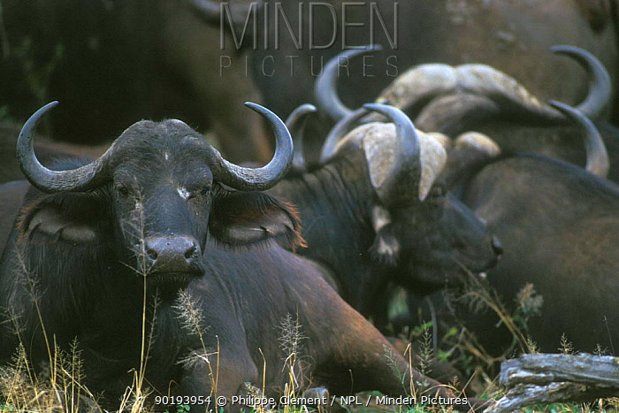 African buffalos resting (Syncerus caffer) Kruger NP South Africa  -  Philippe Clement/ npl