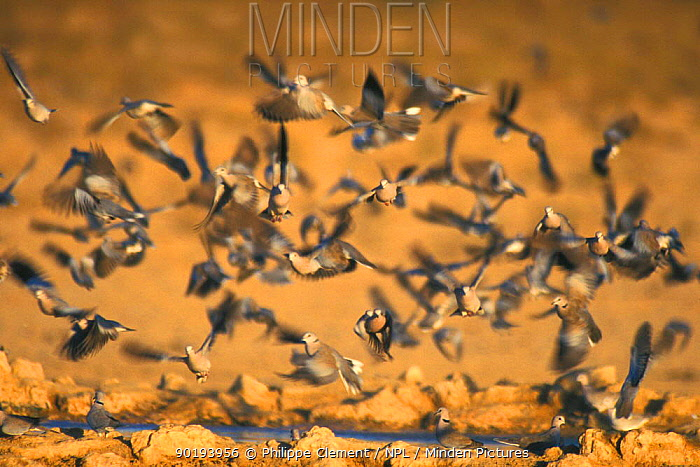 Ring necked, Cape turtle doves fly from waterhole Kalahari (Streptopelia capicola)  -  Philippe Clement/ npl