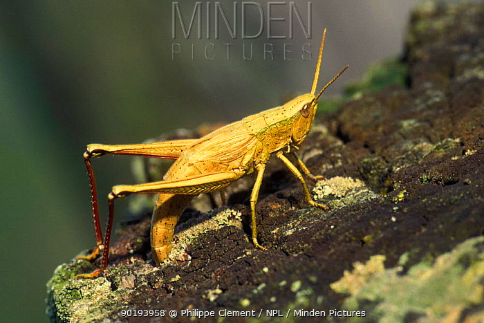 Grasshopper (Chrysochraon dispar) laying eggs Luxembourg oviposting  -  Philippe Clement/ npl