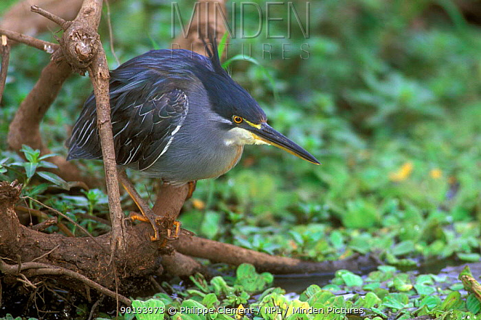 Striated green, Green-backed heron (Butorides striatus) Kruger NP South Africa  -  Philippe Clement/ npl