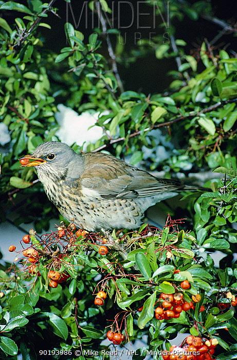 Fieldfare (Turdus pilaris) feeding on Pyracantha coccinea berries UK  -  Mike Read/ npl