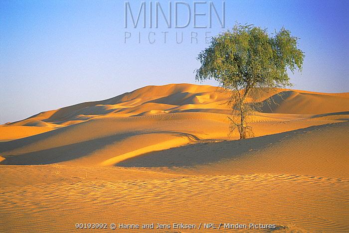 Tree growing in sand dune desert landscape, Barik, Oman  -  Hanne & Jens Eriksen/ npl