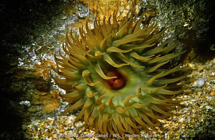 Beadlet anemone (Actinia equina) UK  -  Alan James/ npl