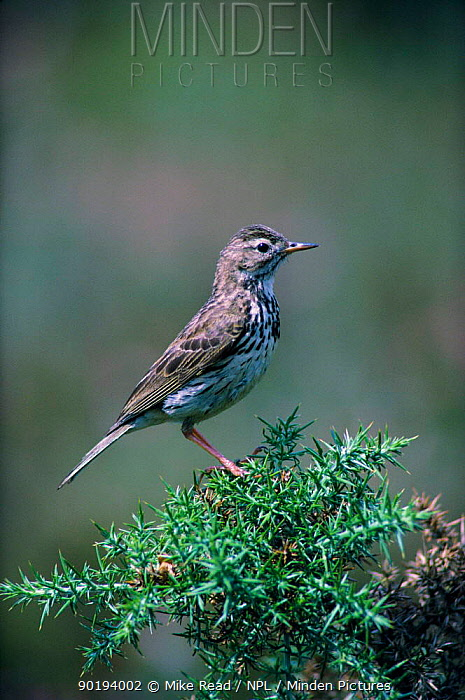 Meadow pipit (Anthus pratensis) UK  -  Mike Read/ npl