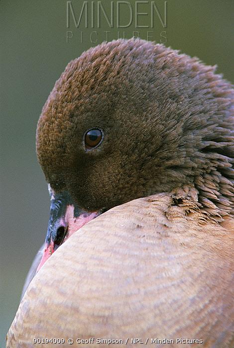 Pink footed goose portrait (Anser fabalis brachyrhynchus) Martin Mere, Lancashire, UK  -  Geoff Simpson/ npl