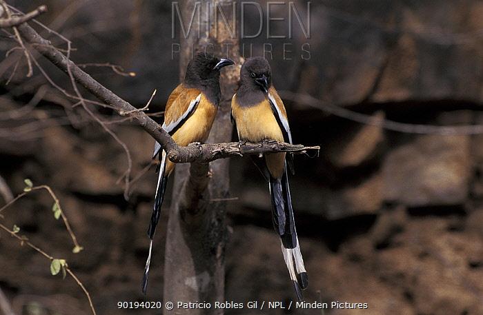 Indian tree pie pair (Drocitta frontalis) India  -  Patricio Robles Gil/ npl