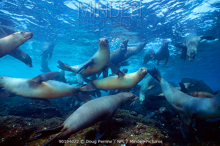 Juvenile Galapagos sealions playing (Zalophus californianus wollebake) Champion Is, Galapagos  -  Doug Perrine/ npl