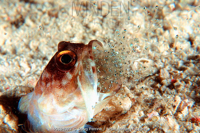 Ring-eye jawfish male expels larvae after brooding eggs in mouth for a week (Opistognathus sp) Borneo  -  Doug Perrine/ npl