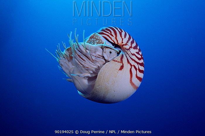 Pearly chambered nautilus (Nautilus pompilius) Celebes Sea  -  Doug Perrine/ npl