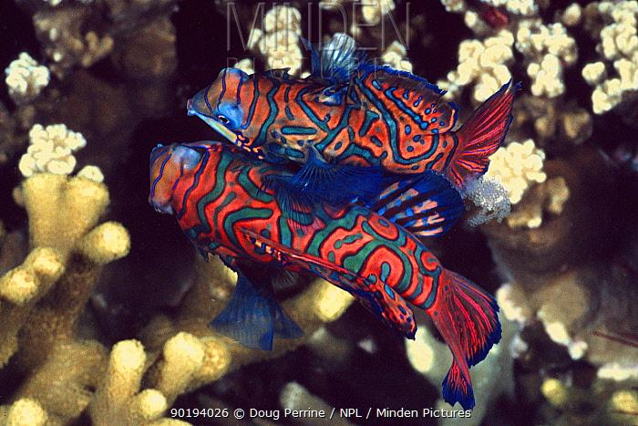 Mandarin fish pair spawning with eggs visible (Synchiropus splendidus) Philippines  -  Doug Perrine/ npl