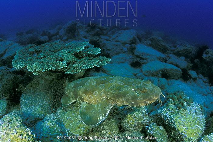 Wobbegong or Carpet shark (Orectolobus maculatus) Queensland, Australia  -  Doug Perrine/ npl