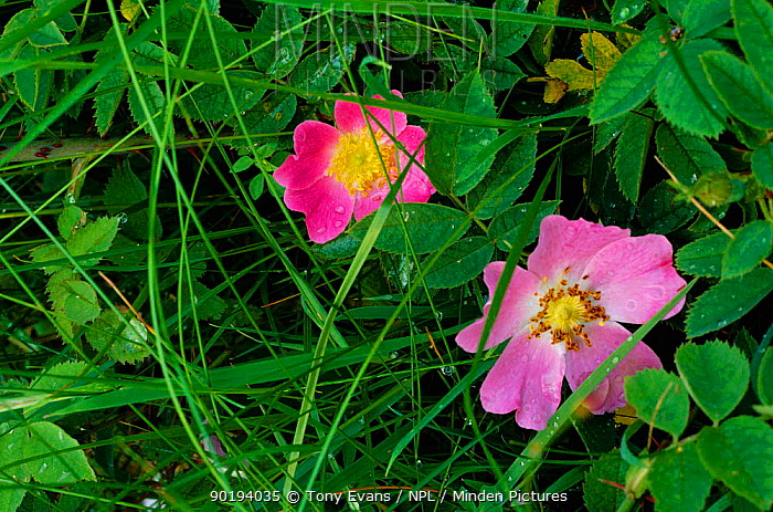 Dog rose flowers (Rosa canina) UK  -  Tony Evans/ npl
