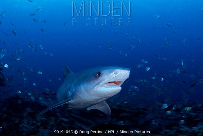 Tiger shark (Galeocerdo cuvieri) South Africa, Indian Ocean  -  Doug Perrine/ npl