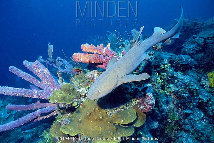 Nurse shark on coral reef (Ginglymostoma cirratum) Bahamas, Caribbean Sea  -  Doug Perrine/ npl