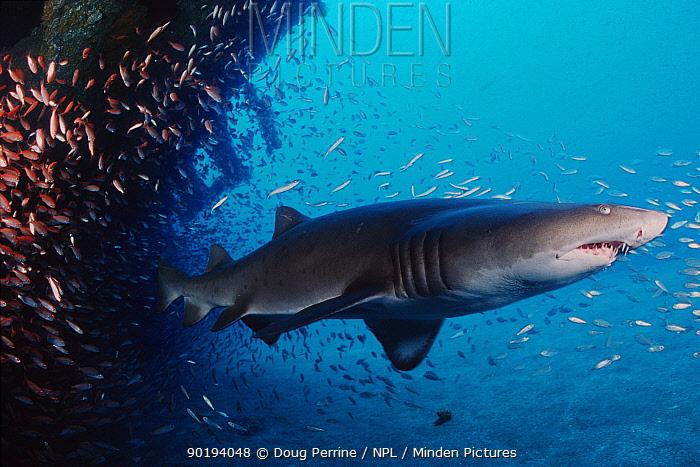Sand tiger shark (Carcharias taurus) Papoose wreck, N Carolina, USA, Atlantic Ocean  -  Doug Perrine/ npl