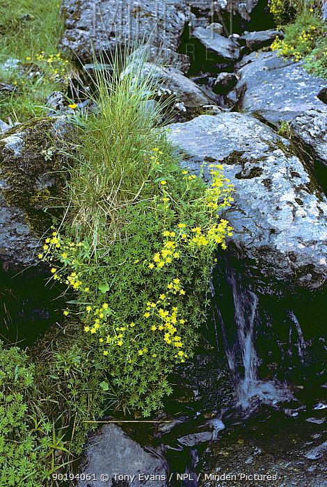 Yellow mountain saxifrage (Saxifraga aizoides) UK  -  Tony Evans/ npl